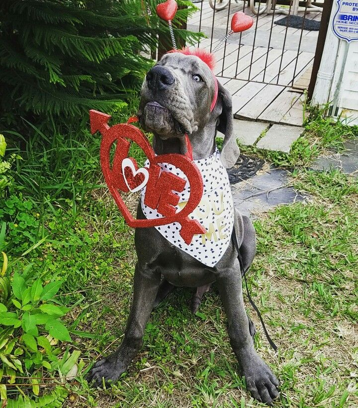a671a424c292 First Valentines Day 24 weeks old blue Great Dane puppy Fergus ...