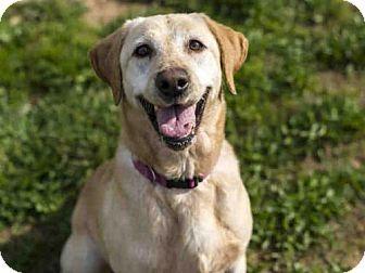Placerville Ca Labrador Retriever Meet Lucy A Dog For