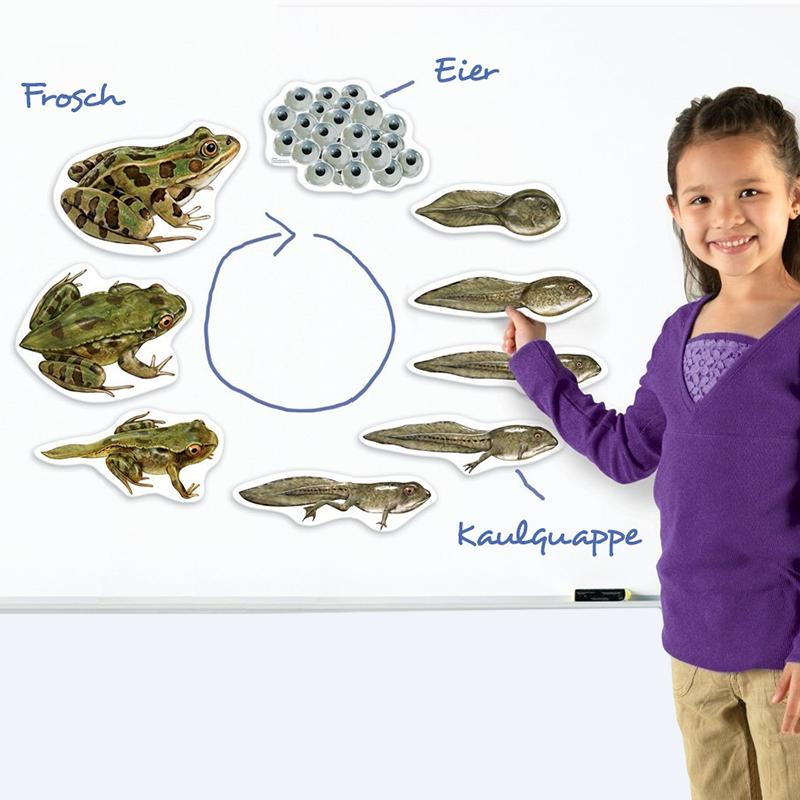 Lebenszyklus Frosch Magnetisch Kaulquappen Frosch Zoologie