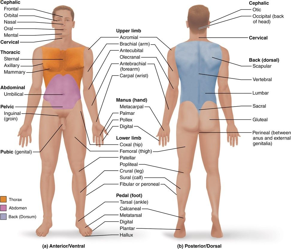 1.5 Anatomical terms describe body directions, regions, and planes ...