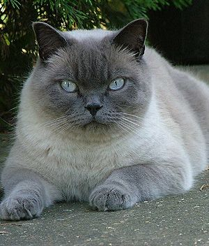 British Shorthair Price Personality Lifespan British