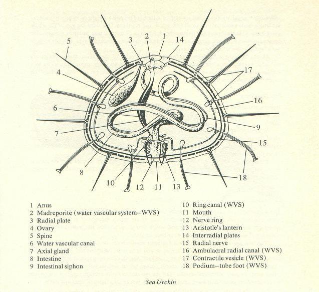 Sea Urchin Diagram Diagram Sea Urchin Scientific Illustration