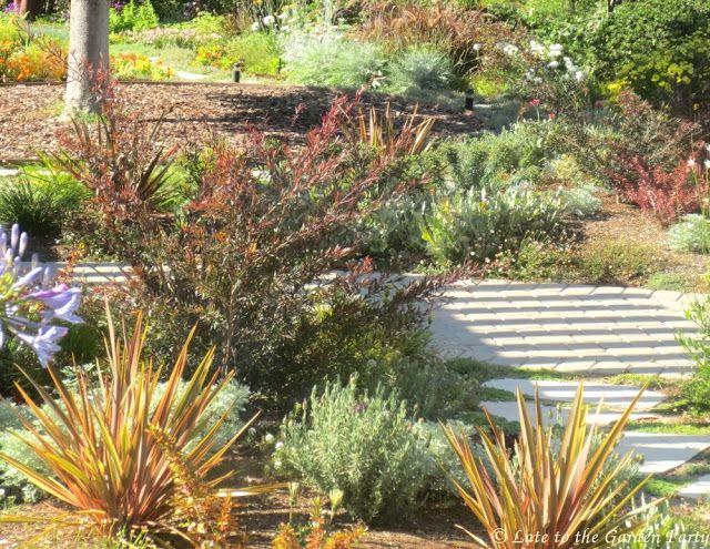 My favorite plant this week: Leptospermum 'Copper Glow'