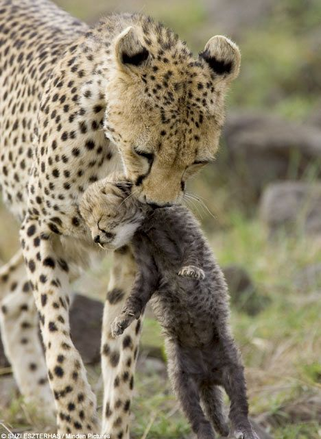 These are such magnificent animals -- saw them in Kenya and Tanzania