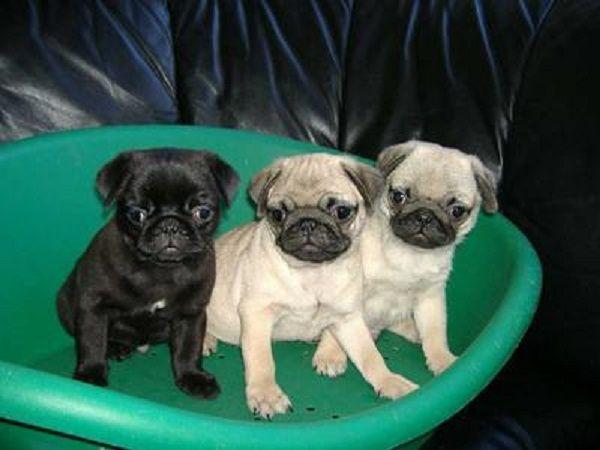 pug puppies for sale in az Zoe Fans Blog