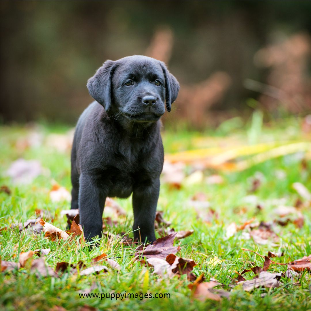 Pure Bred Black Labrador Retriever Puppy Playing Outside In The