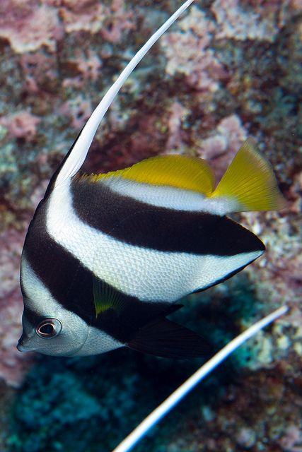 Pennantfish by Benthichi, via Flickr