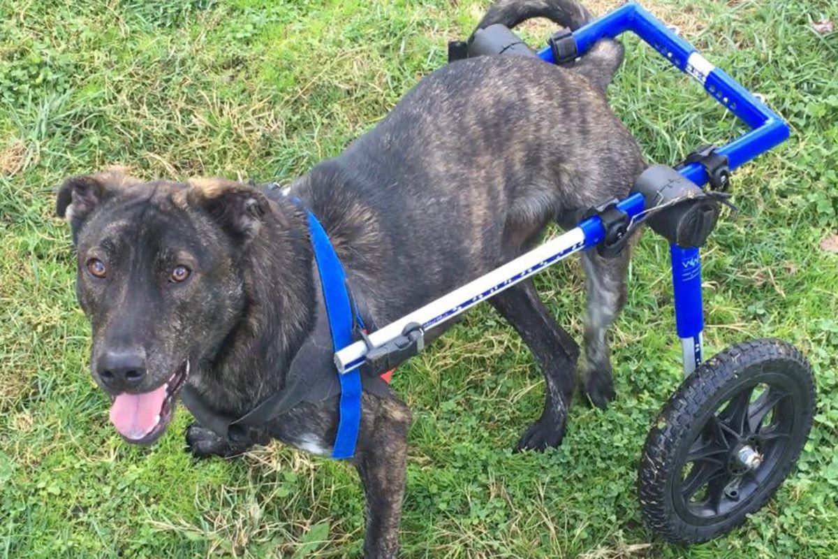 A paralyzed foster dog has found his forever home thanks
