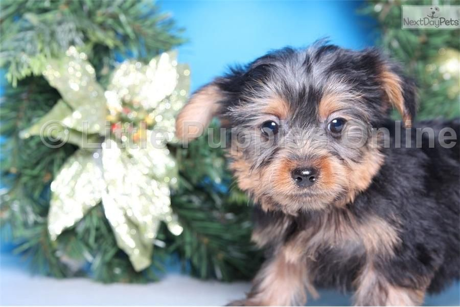Koby Male Toy Yorkie Yorkshire Terrier Yorkie Puppy For Sale Near Columbus Ohio 1e344d18 D0e1 Yorkie Puppy Toy Yorkie Yorkie Puppy For Sale