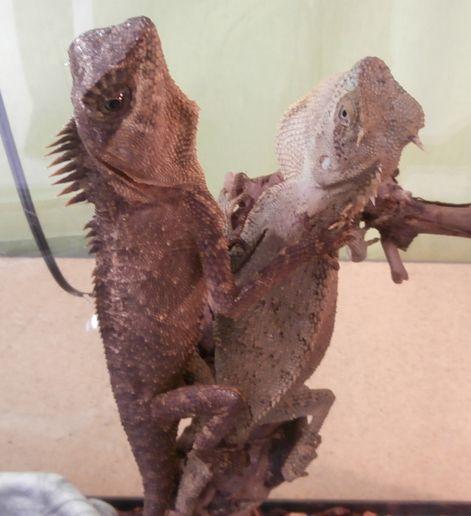 Mountain Horned Dragons Reptile Pet Store Reptiles Pet Pet Store