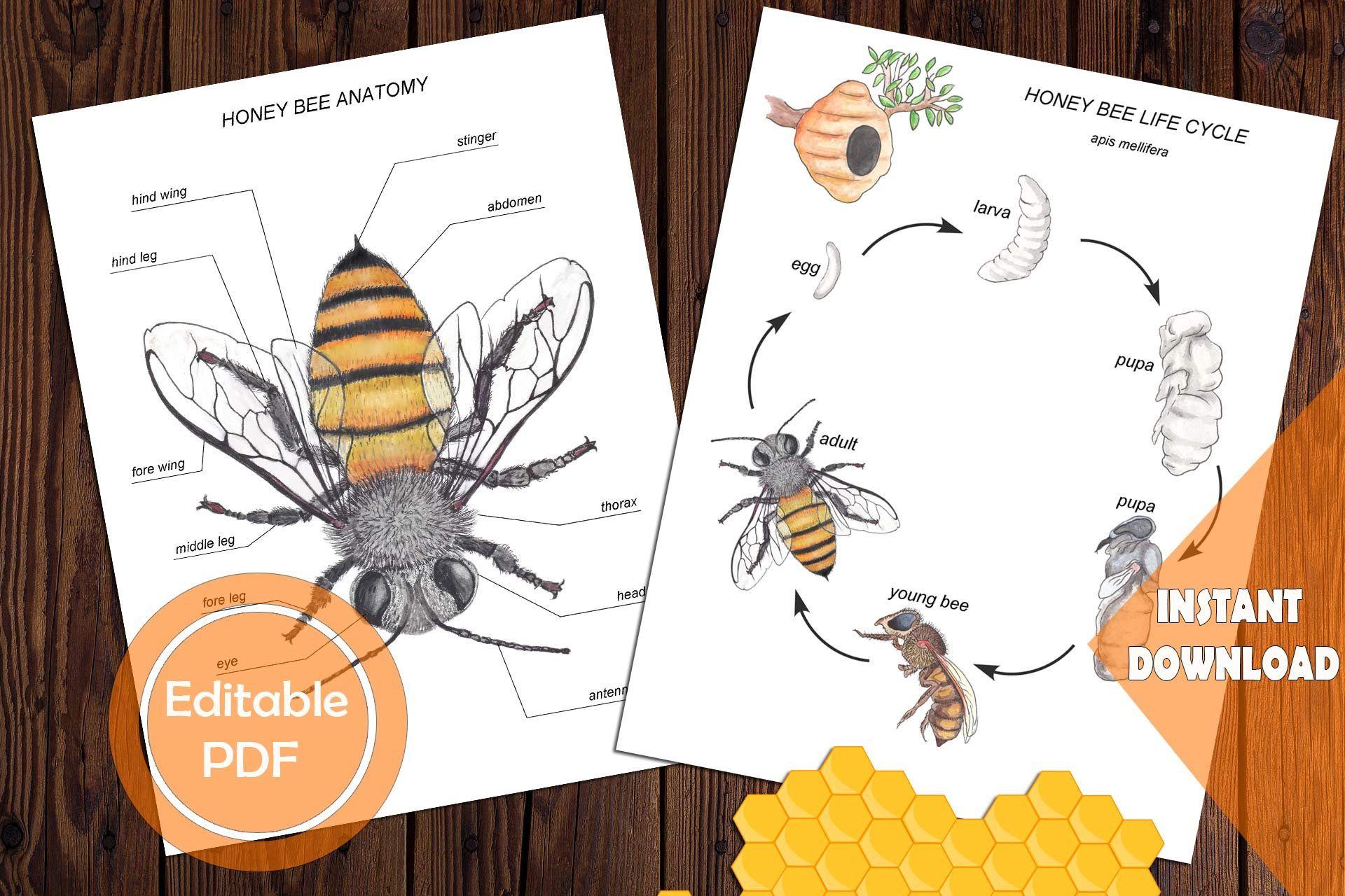 Honey Bee Unit Study Mini Printable Bees Bundle Anatomy