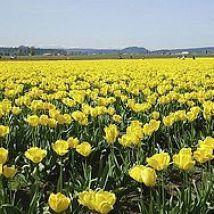 Roozengaarde Tulips