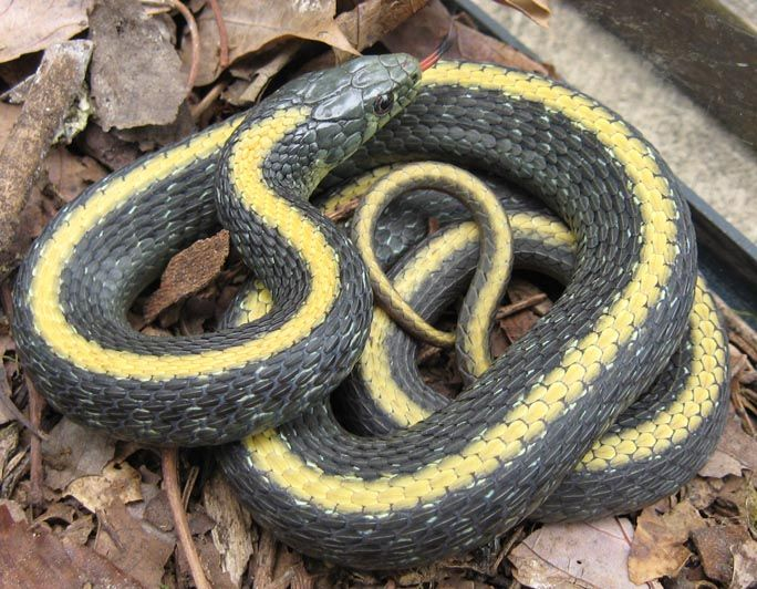 Santa Cruz Yellow Stripped Garter Snake With Images Snake