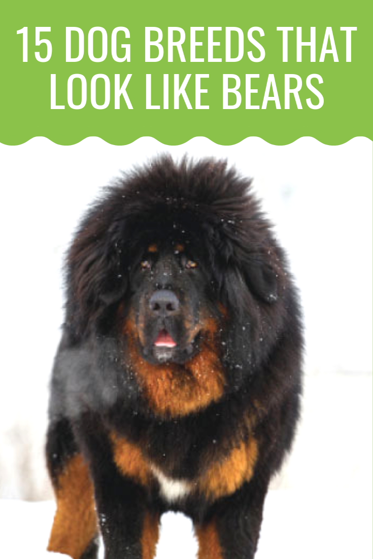 Show Me Pictures Of Dogs That Look Like Bears