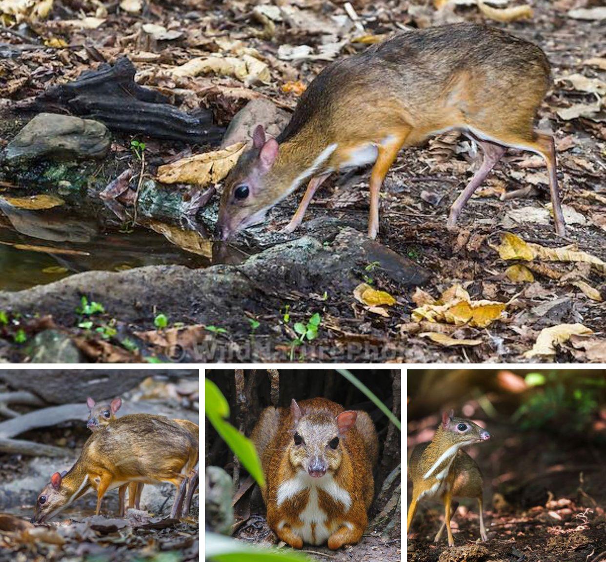الغزال الفأر هو من فصيلة تسمى الطرغول هذا الحيوان ظهر قريبا في جنوب شرق أسيا ووسط أفريقيا صغير كالفأر وشكله يشبه الغزال يصل وزن الآسيوي إلى 8 كجم أما الأ