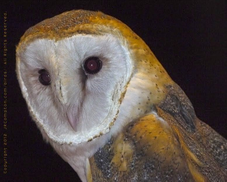 barn owl sounds - 777×625