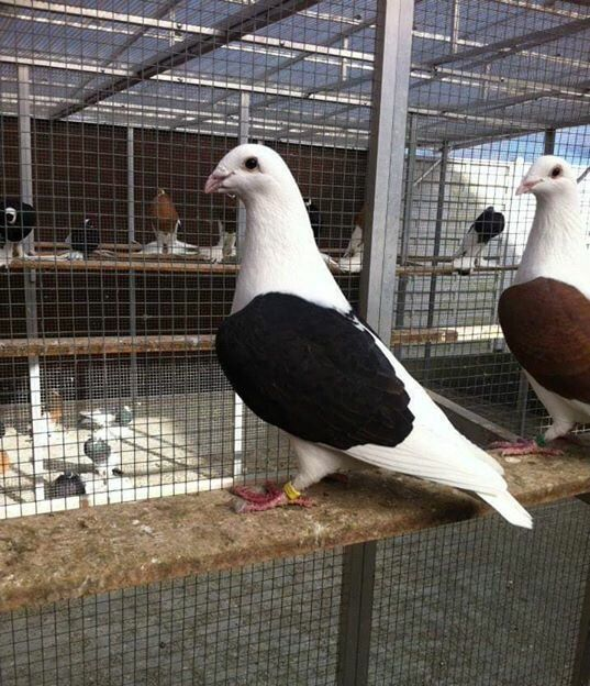 Saddle back homing pigeons   Pigeon breeds, Homing ...