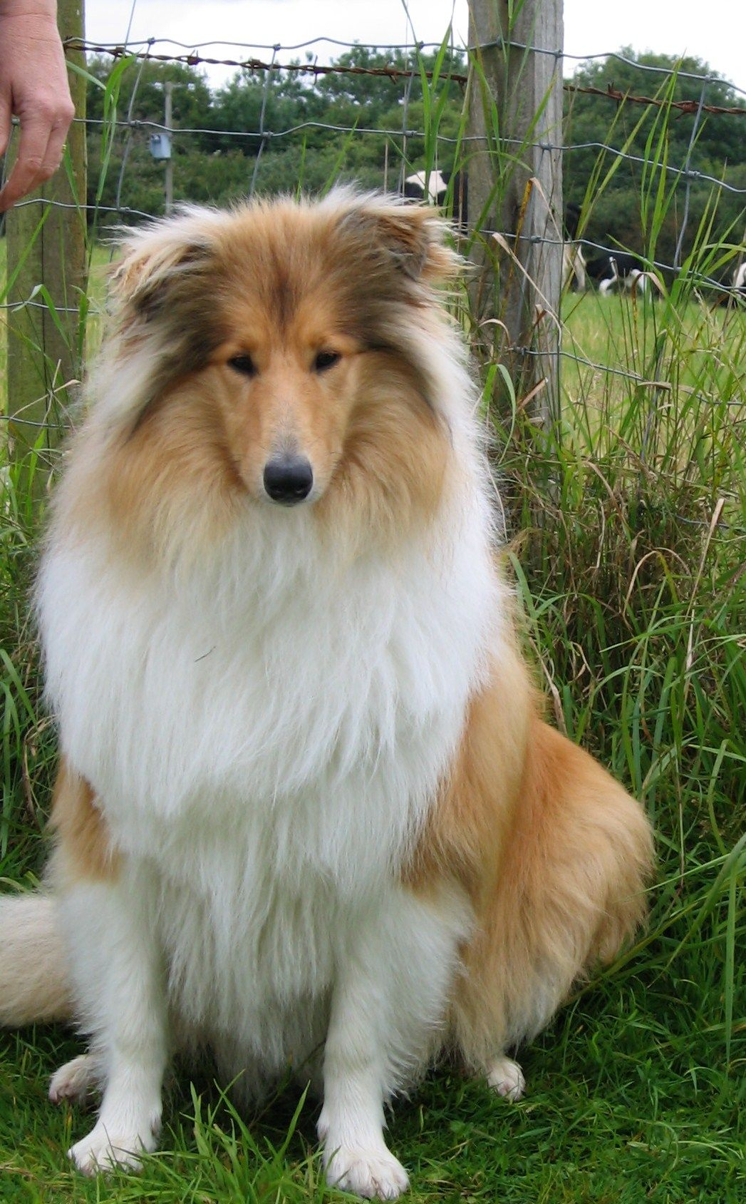 Tigger In Cornwall At 6 Months The Perfect Dog Rough Collie