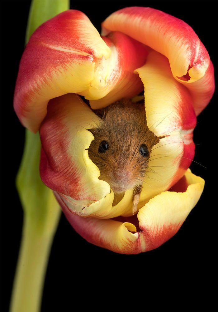 Des souris dans des tulipes ? Ce photographe a décidé den faire sa spécialité… et cest vraiment très mignon