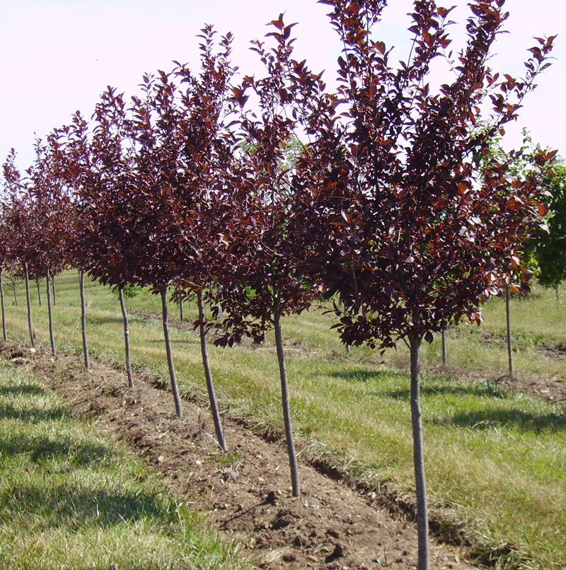 Canada red select cherry tree modern yard pinterest for Cherry trees for sale