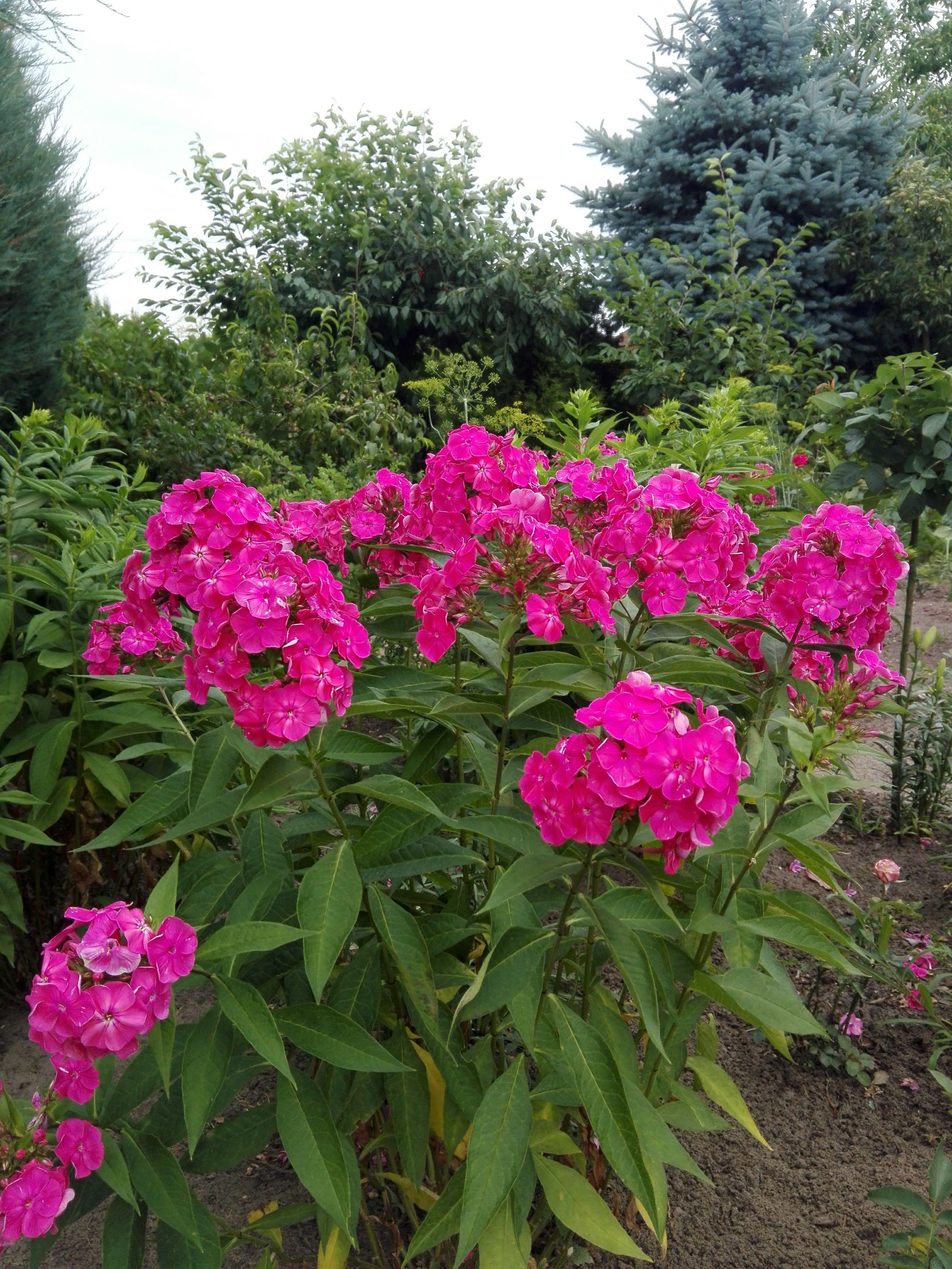 Rozowe Floksy W Ogrodzie Perennials Plants