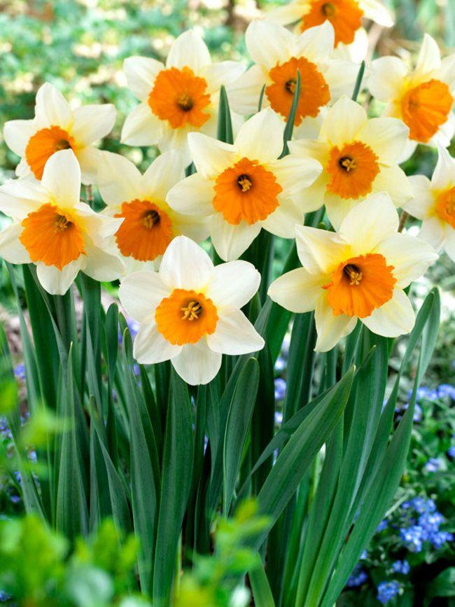 Daffodil Sempre Avanti Value Pack Bluestone Perennials Daffodils Fall Plants Daffodils Planting