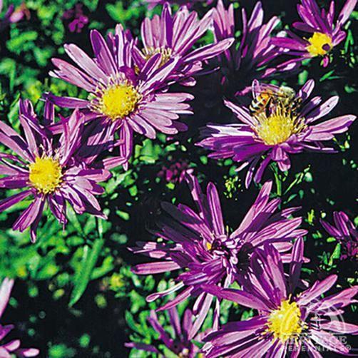 Plant Profile For Aster Novi Belgii Blue Lagoon Michaelmas Daisy Perennial Flowers Plants Flower Pots