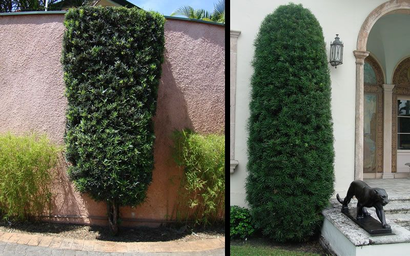 The Podocarpus Upright Yew Podocarpus Macrophyllus Also
