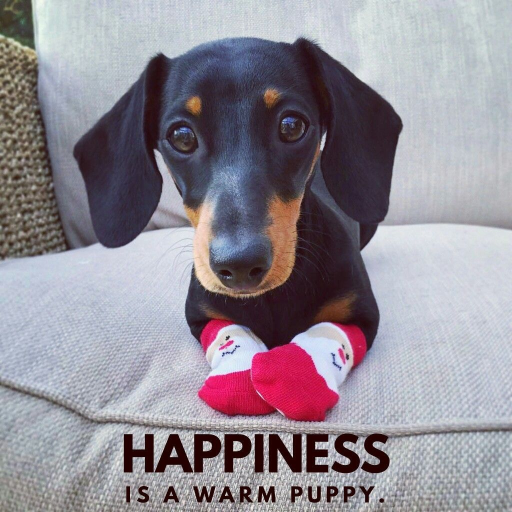 Check Our Store For Great Gifts Funny Dachshund Cute Dogs Dog Love