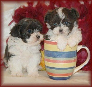 6 Week Old Mal Shi Maltese Shih Tzu Mix Puppies Lovable Furry