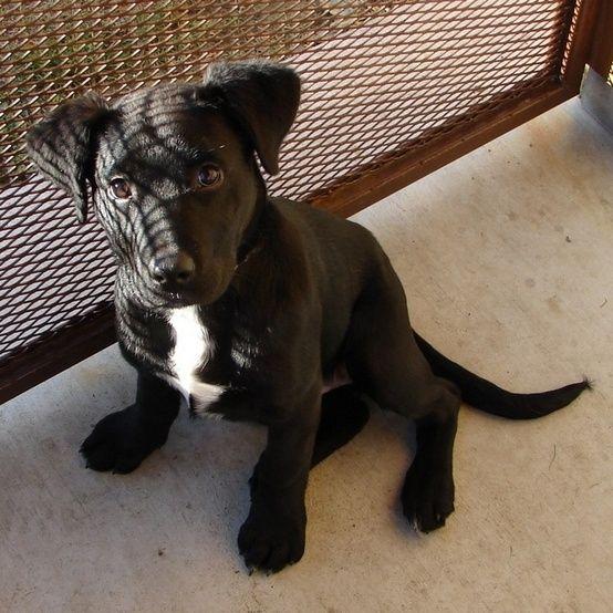 Pitbull And Black Lab Mix By Joyce Lab Mix Puppies Pitbull Lab Mix Pitbull Lab