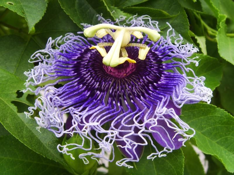 Passion Flower Benefits Livestrong Com Passion Flower Benefits Medicinal Herbs Garden Passion Flower
