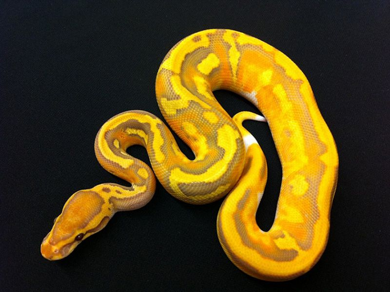 Caramel Albino Pied Morph List World Of Ball Pythons Ball Python Cute Snake Ball Python Morphs