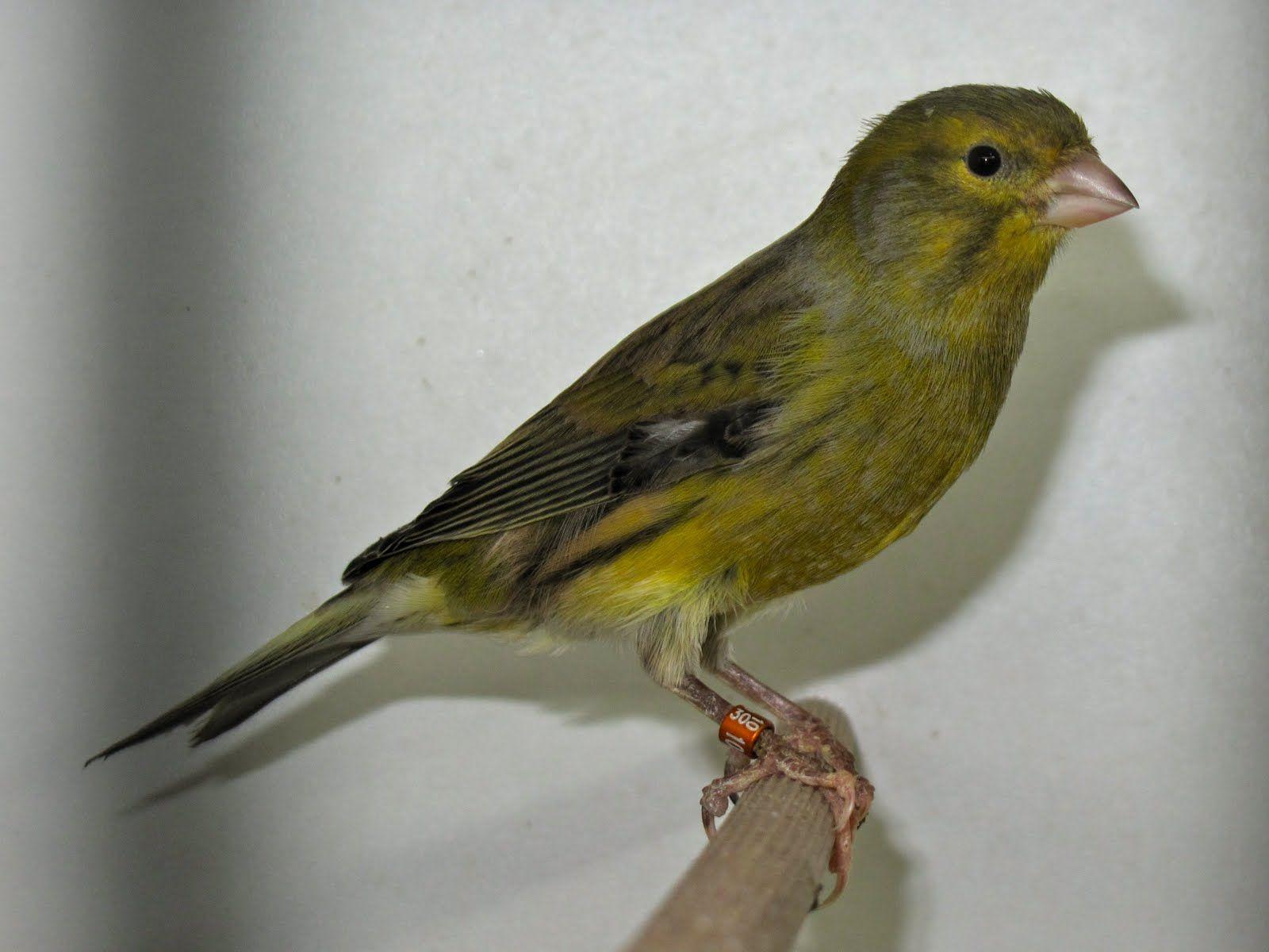 oiseaux canaris chanteurs timbrado espagnol canari