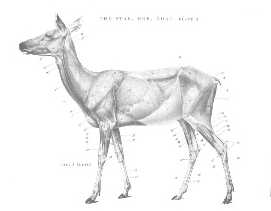 Deer Muscle Diagram - Basic Guide Wiring Diagram •