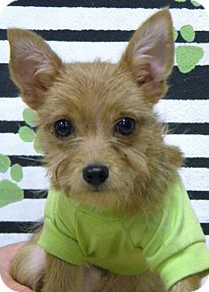 Yorkie Yorkshire Terrier Chihuahua Mix Puppy For Adoption In