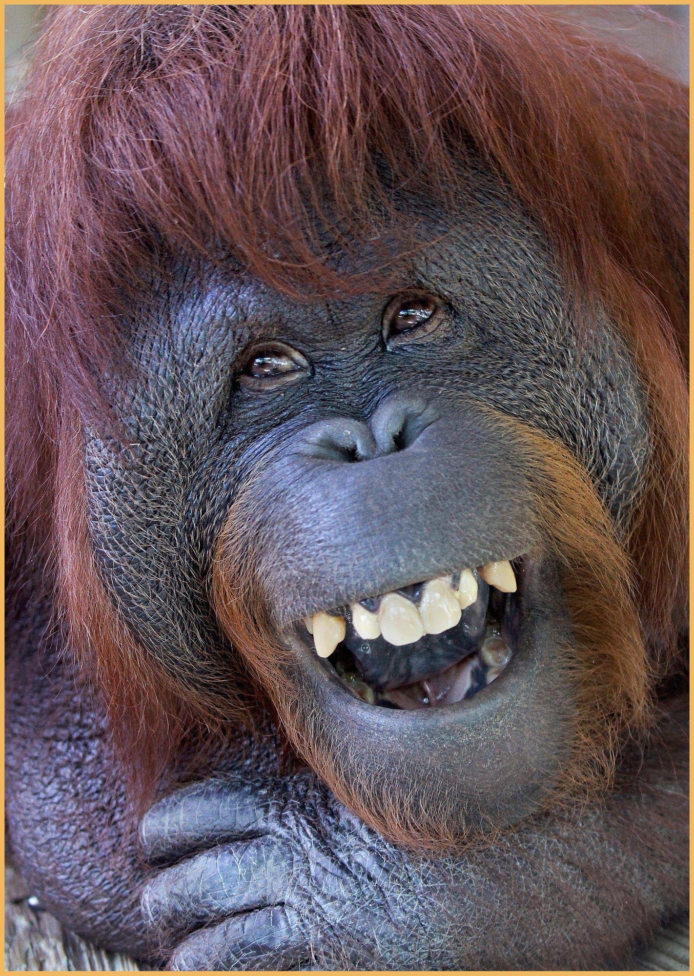 Orangután en el Zoo de Barcelona.   Smiling animals ...