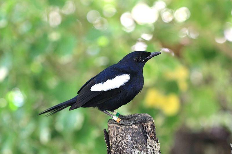 The Rare Series: Seychelles Magpie Robin