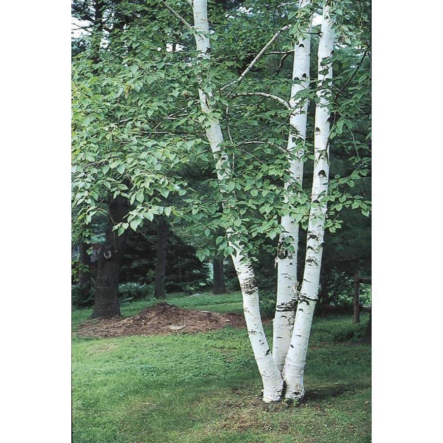 5 5 Gallon Paper Birch Feature Tree In Pot With Soil L7304