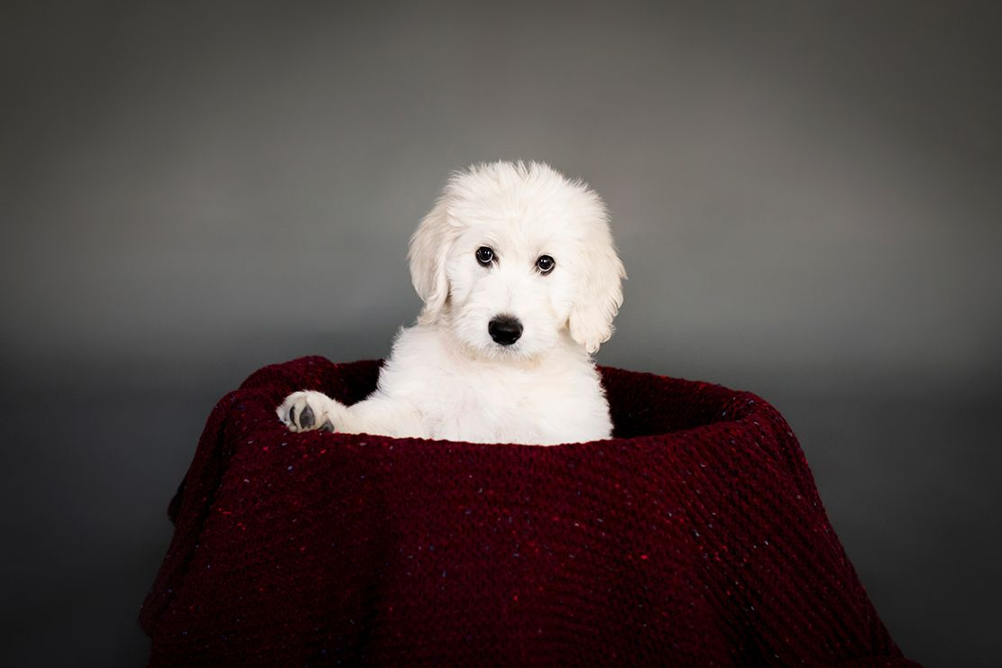 Newborn Photo Shoot With A Golden Doodle Puppy Image Property Of