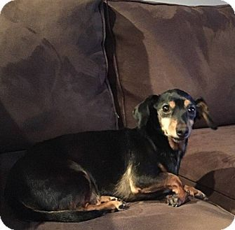 Dachshund Dog For Adoption In Grand Bay Alabama Chopper In