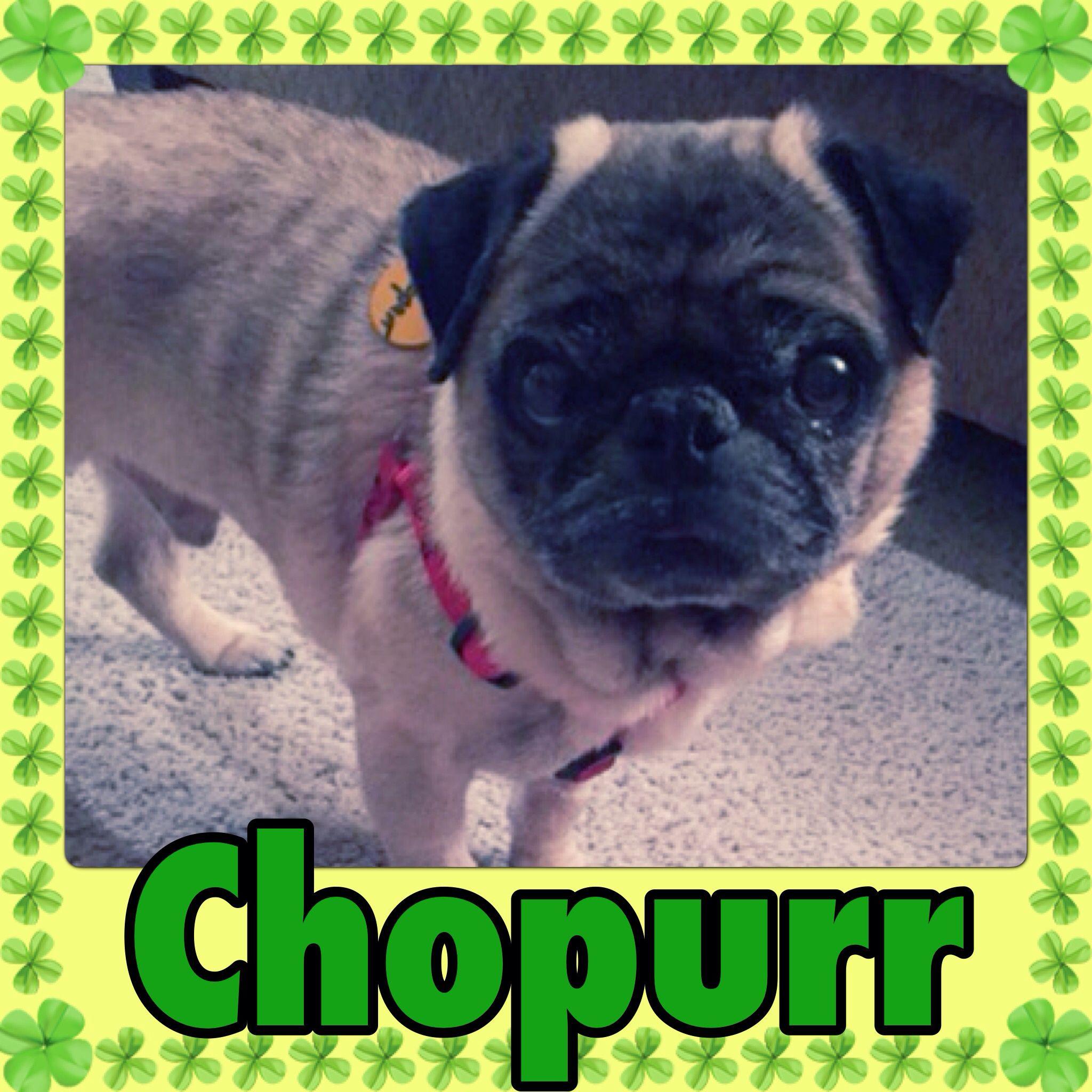 Hey Everyone I M Chopurr And I Am A Tiny 7 Year Old Pug Boy Who