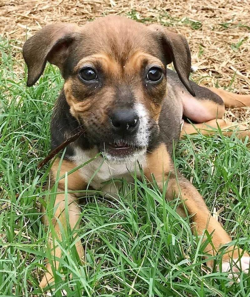 Adopted Miramar Beach Fl Meet Amelia An Adoptable Beagle