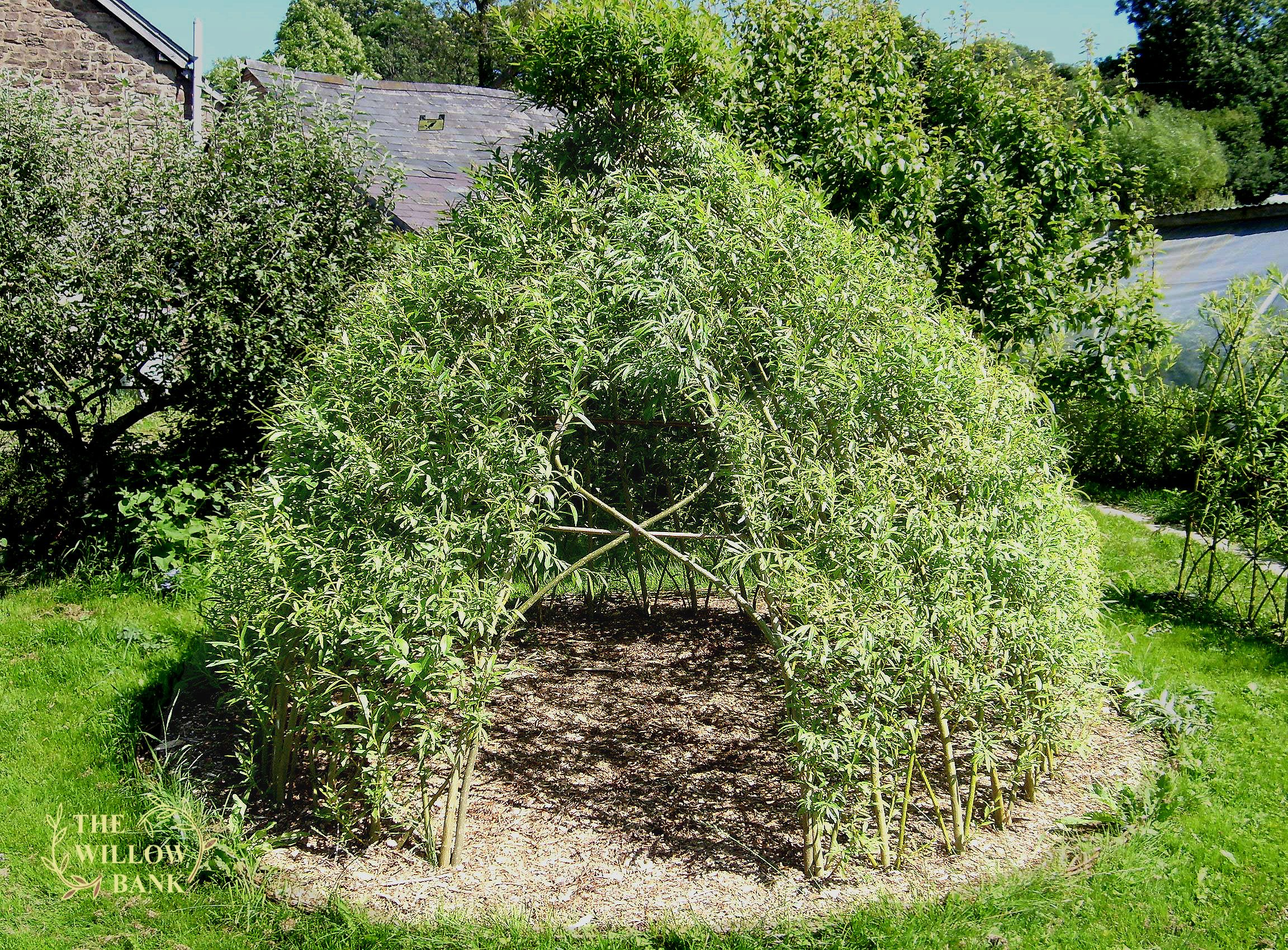 Buy Living Willow Structures Dome Teepee Willow