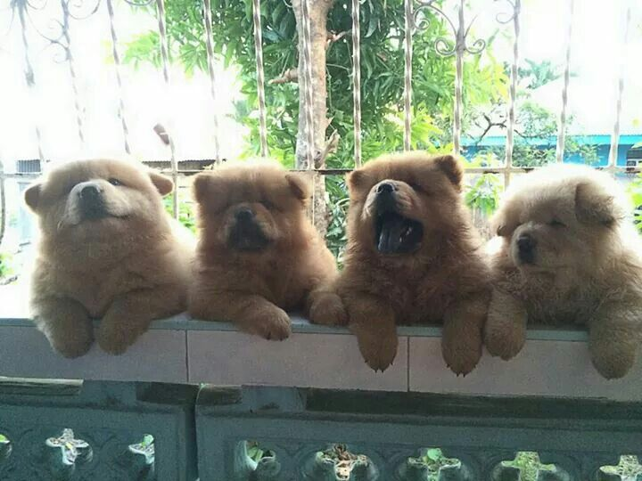 Chow Chow Puppies Cuteness Puppies For Sale Dogs Puppies Dogs