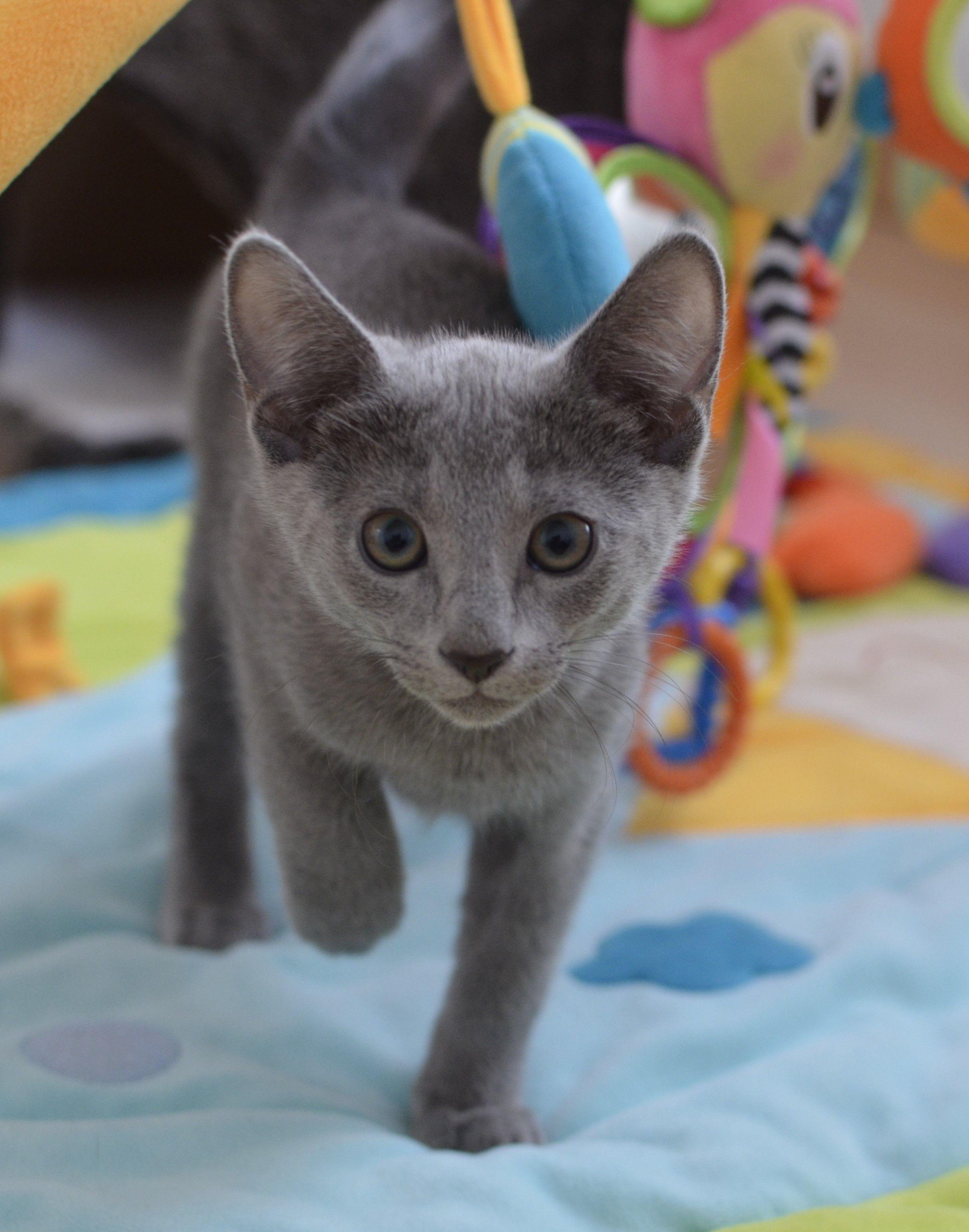 Chaton bleu russe malo b b chat mignon chat bleu russe - Jeux gratuits de bebe chat ...