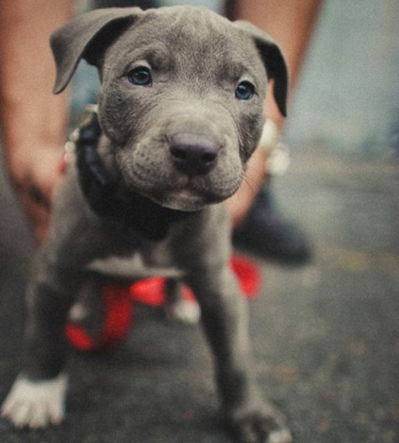 Fancy - Pitbull Puppy