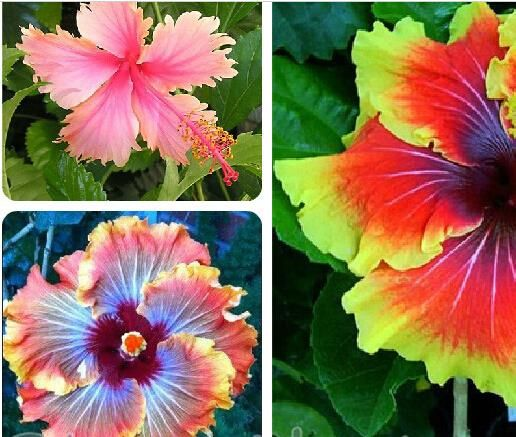 On Sale 10pcs Hibiscus Seeds 24kinds Hibiscus Rosa Sinensis