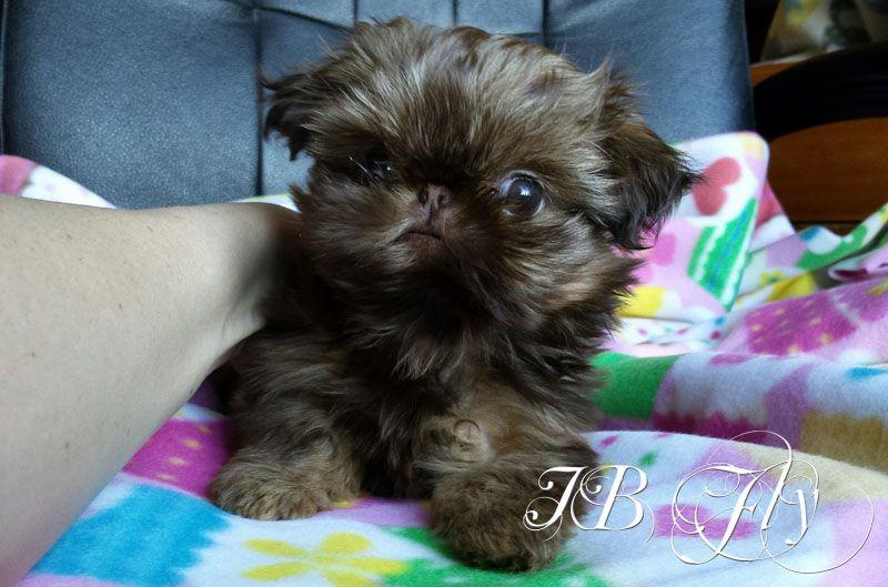 Tiny Major Munchkin Ohhhh That Face Though Cream Red Liver 6 Wks Shih Tzu Grooming Shih Tzu Puppy Shih Tzu Dog