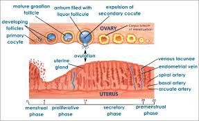 Menstrual cycle diagram google search contraception pinterest menstrual cycle diagram google search ccuart